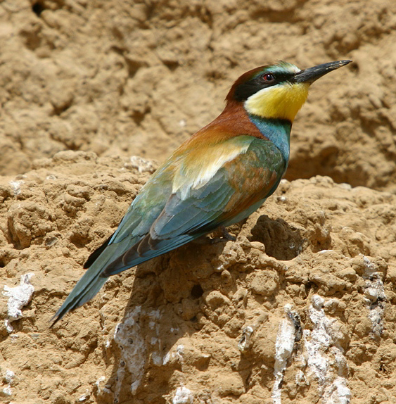 The Bee eaters have a colony close to the Urra field station.