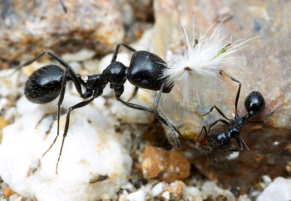 Harvester ants are characteristic of Mediterranean ecosystems.