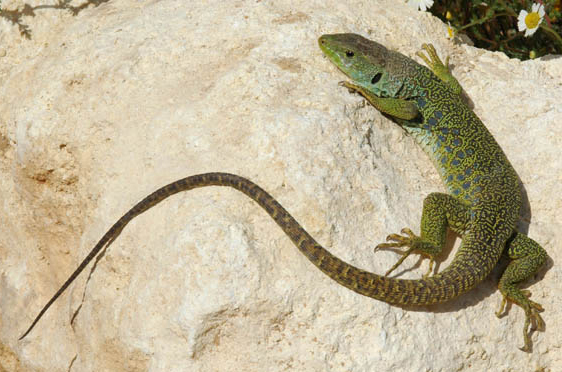 Mediterranean Lacerta lizards are the largest in Europe and quite common