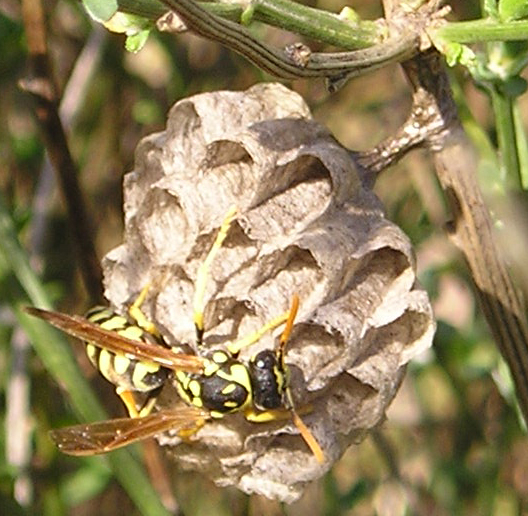Polistes paper wasp - the foundress queens are just starting their nests when we're at Urra.jpg