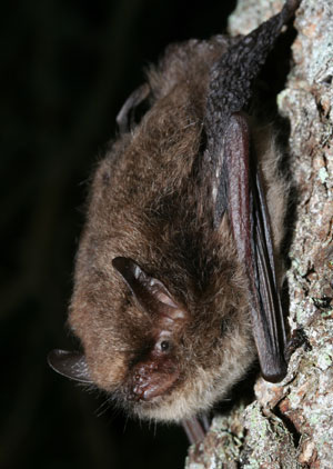 Bat species discovered for the first time in the UK