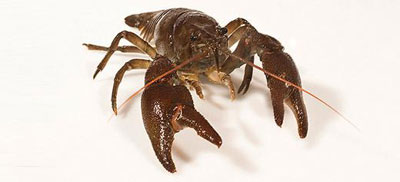Clash of the crayfish: why the Americans are winning