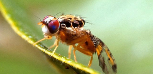 New study on female fruit flies published by FBS Professor