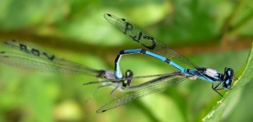 Age doesn't dull damselflies\