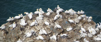 Seabirds on cliff