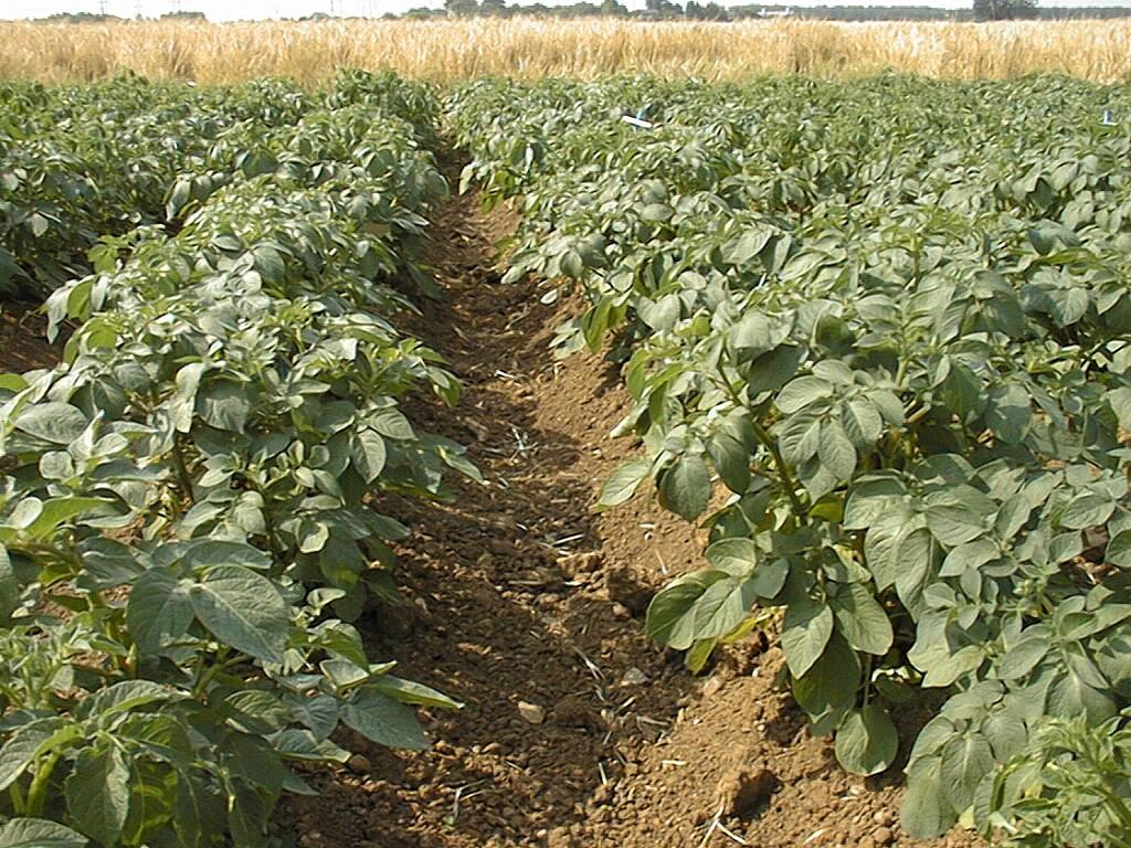 Transgenic Potato Field Trial