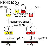 Figure 1: The Rep proteins form specific homodimers prior to initiation of replication