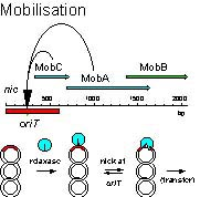 Figure 2: Accessory protein MobC is required for MobA to cleave at oriT
